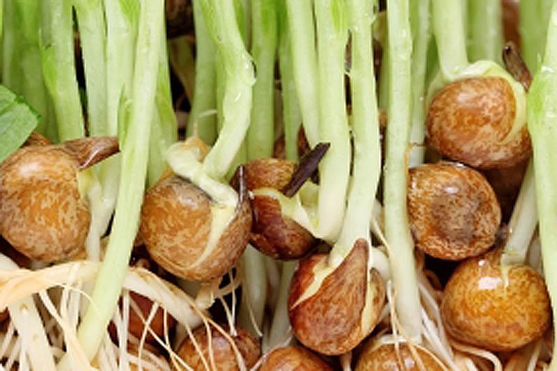 ハムスターは豆苗の種を食べられるか