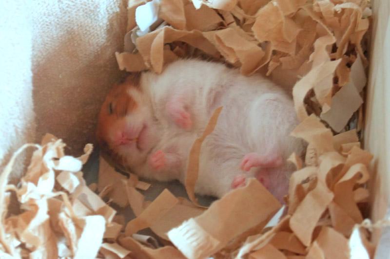 ハムスターが仰向けで寝る姿勢